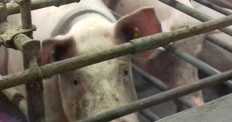 Video: Hoe varkens leven in een Nederlandse varkenshouderij