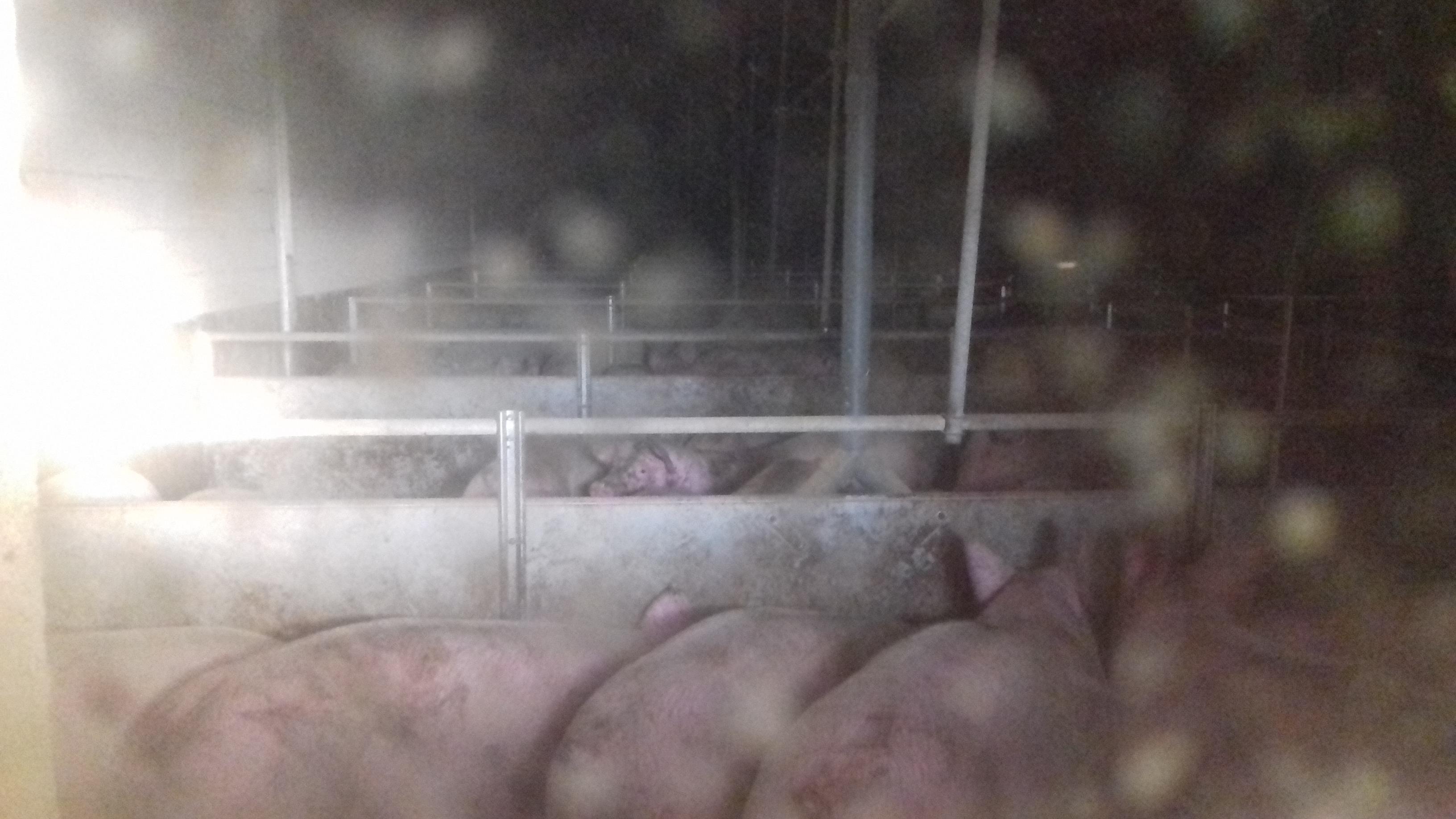 Vleesvarkens in kale, donkere hokken