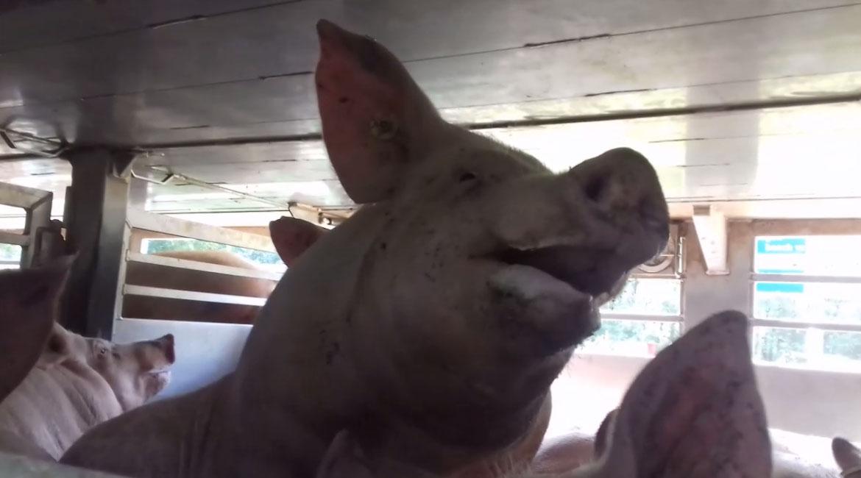 Oververhitte varkens op transport – en het slappe hitteprotocol